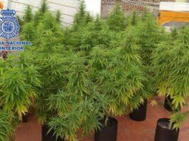 Detenido por cultivar más de 150 plantas de marihuana en Lora del Río